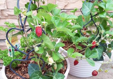 キッズプロジェクト「暑い夏爽やかに香るハーブの寄植え作り」